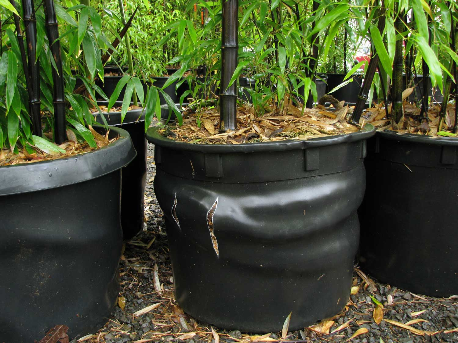 How to plant bamboo in pot