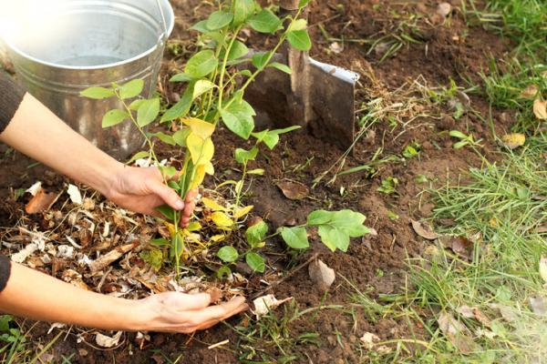 How to make mulch from leaves
